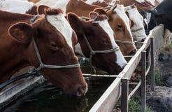 Agua de la bebida de las vacas del canal Fotografía de archivo libre de regalías