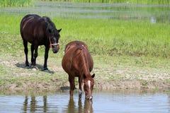 Agua de la bebida de los caballos Fotos de archivo