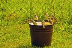 Agua de la bebida de los gorriones de un compartimiento Imágenes de archivo libres de regalías