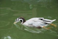 Agua de la bebida del pato Fotografía de archivo