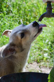 Agua de la bebida del perro Imágenes de archivo libres de regalías