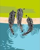 Agua de la bebida de las cebras, visión superior ilustración del vector