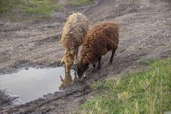 Agua de la bebida de las ovejas en charco fotos de archivo libres de regalías