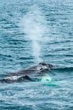 Agua de la expectoración de la ballena jorobada, Dalvik Islandia Imagenes de archivo