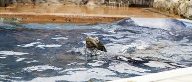 Agua de la natación del sello Foto de archivo libre de regalías
