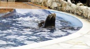 Agua de la natación del sello Foto de archivo