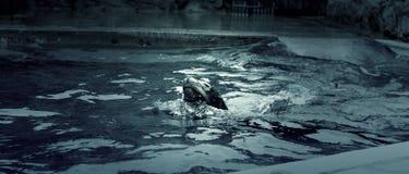 Agua de la natación del sello Fotografía de archivo libre de regalías