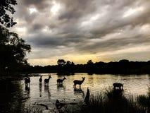 Agua de la travesía de los ciervos para alcanzar los bancos de un lago en una tarde de agosto Imágenes de archivo libres de regalías