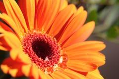 Agua de los descensos en la flor del Gerbera Fotos de archivo