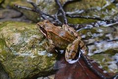 Agua de río agradable aguda marrón animal de la rana buena Imagen de archivo
