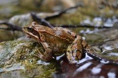 Agua de río agradable aguda marrón animal de la rana buena Imagenes de archivo