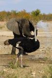 Agua de rociadura del elefante a una avestruz fotografía de archivo