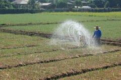 Agua de rociadura en arroz Fotos de archivo libres de regalías