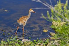 Agua de Sandhill Crane Baby Wading In The fotografía de archivo libre de regalías