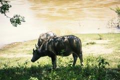 Agua del búfalo al aire libre Fotos de archivo libres de regalías