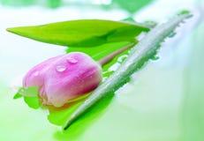 Agua del descenso de Tulip Bud Imagen de archivo