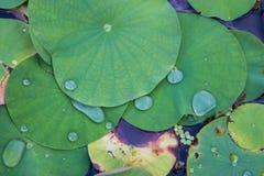 Agua del descenso en la hoja de Lotus foto de archivo libre de regalías