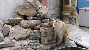 Agua del grifo de consumición del mono de Brown durante verano metrajes