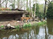 Agua del parque zoológico de la locura del tigre imágenes de archivo libres de regalías