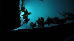 Agua del puerto deportivo del Lit con lentamente la mudanza de alga marina marrón y de la pequeña natación de los pescados almacen de metraje de vídeo