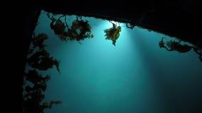 Agua del puerto deportivo del Lit con lentamente la mudanza de alga marina marrón y de la pequeña natación de los pescados almacen de video