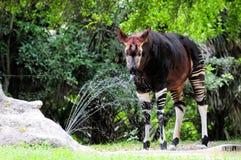 Agua dinking del Okapi Fotos de archivo libres de regalías