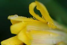 Agua Dropets en la flor amarilla fotografía de archivo