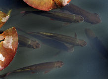 Agua dulce Rudd en la charca del jardín Fotografía de archivo