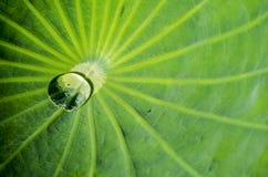 Agua en la hoja del loto fotografía de archivo libre de regalías