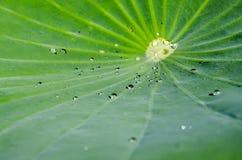 Agua en la hoja del loto imagen de archivo