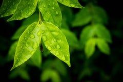 Agua en las hojas después de la lluvia Fotos de archivo libres de regalías