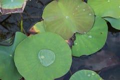 Agua en una hoja del loto imágenes de archivo libres de regalías
