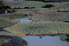 Agua espinosa Lily Euryale Leaves Floating en la charca fotos de archivo