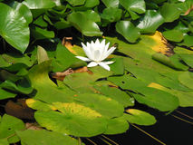Agua-flor Fotos de archivo