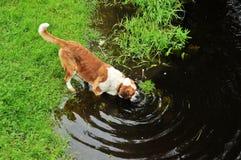 Agua grande de la bebida del perro Foto de archivo libre de regalías