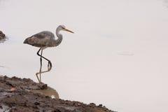 Agua gris del pájaro de la garza Imágenes de archivo libres de regalías