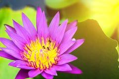 Agua hermosa lilly con efecto luminoso del sol caliente Fotografía de archivo