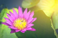 Agua hermosa lilly con efecto luminoso del sol caliente Fotos de archivo
