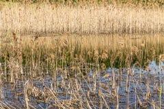 Agua, humedales, hierba seca y cañas foto de archivo