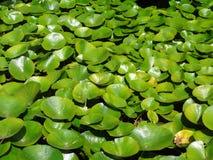 Agua Lillies Foto de archivo libre de regalías