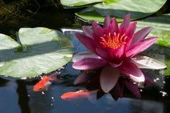 Agua lilly Imagenes de archivo