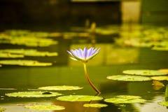 Agua lilly Fotos de archivo libres de regalías