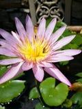Agua lilly Foto de archivo libre de regalías