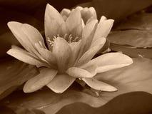 Agua lilly Imagen de archivo libre de regalías