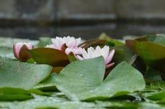 Agua lilly Imagen de archivo