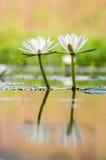 Agua lilly Fotografía de archivo
