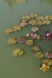 Agua lilly fotos de archivo