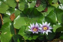 Agua lilly Imágenes de archivo libres de regalías