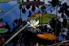 Agua lilly Foto de archivo