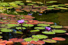 Agua lilly Fotografía de archivo libre de regalías